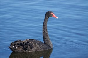 Black Swan on Herdsman Lake, Western Australia. Credit: David Brown