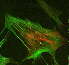cells have increasing therapeutic use